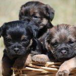 Aprire un allevamento di cani