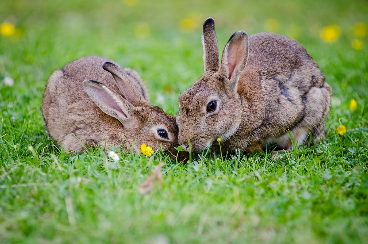 Aprire un allevamento di conigli