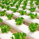 Aprire una coltivazione idroponica